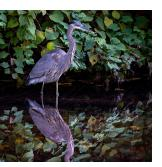 A Great Blue Heron and It's Reflection in the Bronx River
